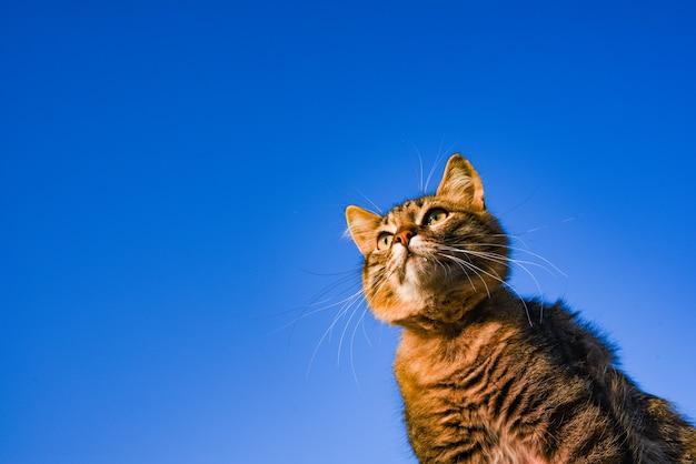 Kopieren sie raumgraue katze auf einem blauen himmel im sonnenlicht. katze am himmel. ein haustier. schönes kätzchen.