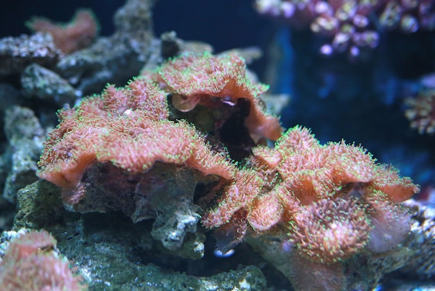 Korallen im aquariumbecken