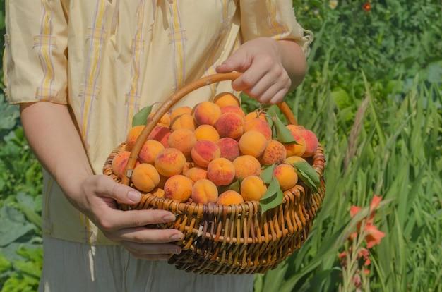 Korb mit aprikosen