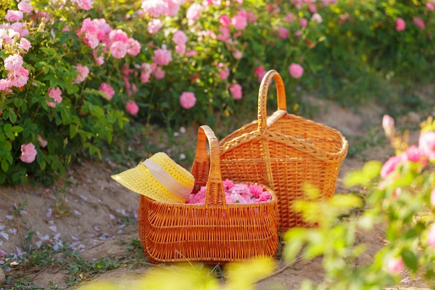 Korb mit blume aus rosa ölrosen.