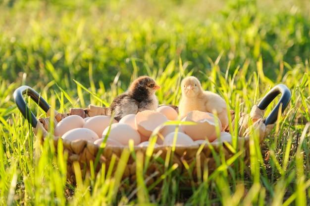 Korb mit eiern mit zwei kleinen neugeborenen hühnern