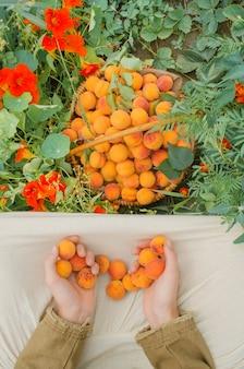Korb mit frischen aprikosen im garten.