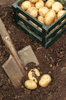 Korb mit frischen leckeren frühkartoffeln.