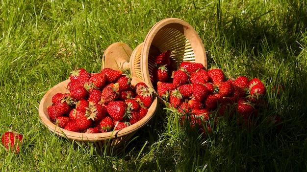Korb mit gartenerdbeeren auf dem grünen gras im garten