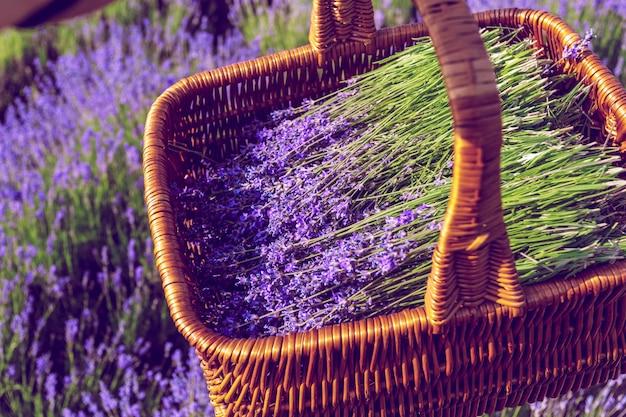 Korb mit lavendel auf dem feld