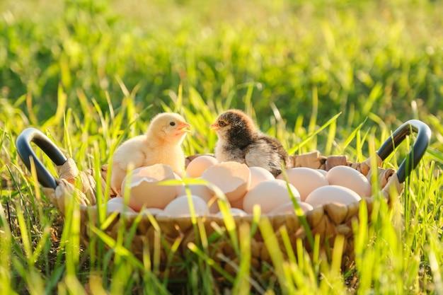 Korb mit natürlichen frischen bio-eiern mit zwei kleinen neugeborenen hühnern