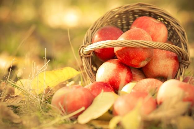 Korb voller roter saftiger äpfel, die in einem gras im herbstgarten verstreut sind