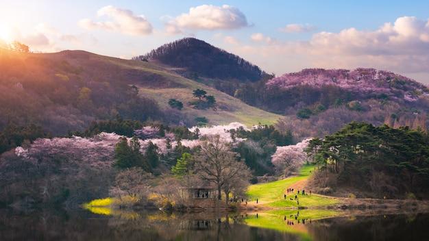Korea im frühling und kirschblütenbäume um yongbi see in seosan, südkorea.