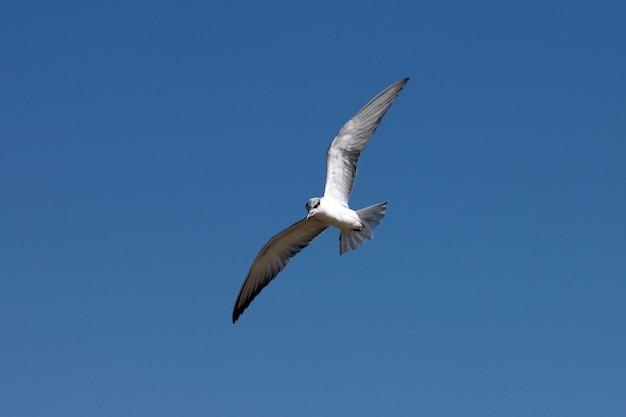 Kormoran fliegt in einem blauen himmel