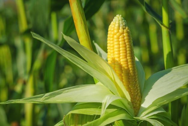 Kornähre in einem maisfeld im sommer vor der ernte.