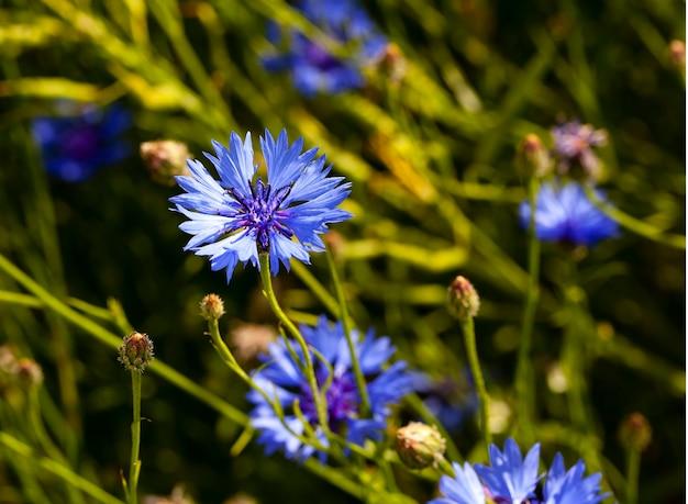 Kornblume - die kornblume von blauer farbe, die durch eine nahaufnahme grafisch dargestellt wird