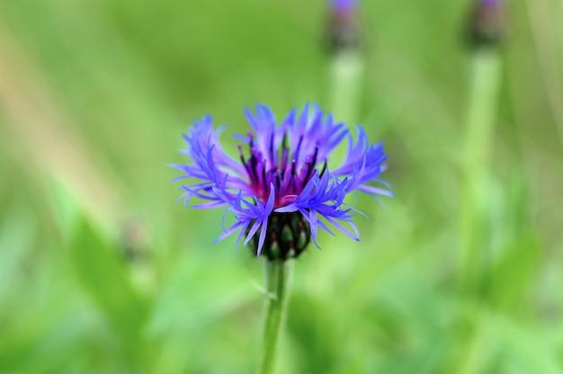 Kornblume ist ein wildes feldkraut mit blau-lila blüten in voller blüte.