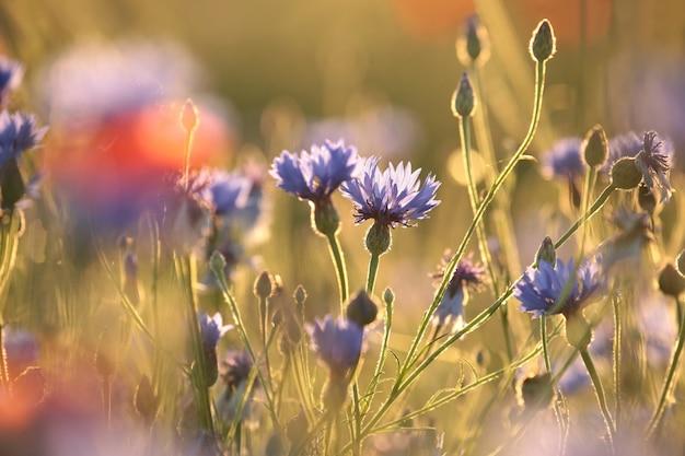 Kornblumen auf dem feld bei sonnenaufgang