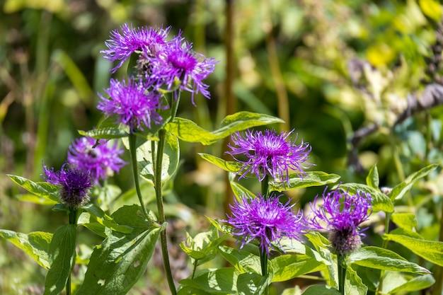 Kornblumen wachsen wild am misurina-see