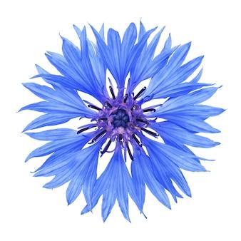 Kornblumenblume lokalisiert auf weißer oberfläche mit beschneidungspfad