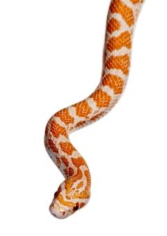 Kornnatter oder rote rattenschlange, pantherophis guttattus, rutschend
