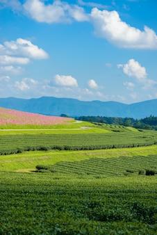 Kosmos-felder und feld des grünen tees mit blauem himmel