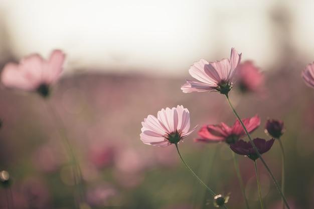 Kosmos rosa blumen schließen