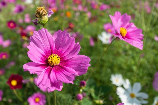 Kosmos rosa blumenfeld hautnah