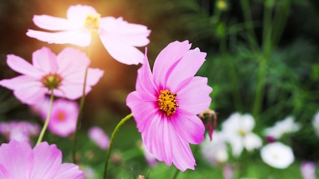 Kosmos, rosa starburst blüht in einem grünen garten