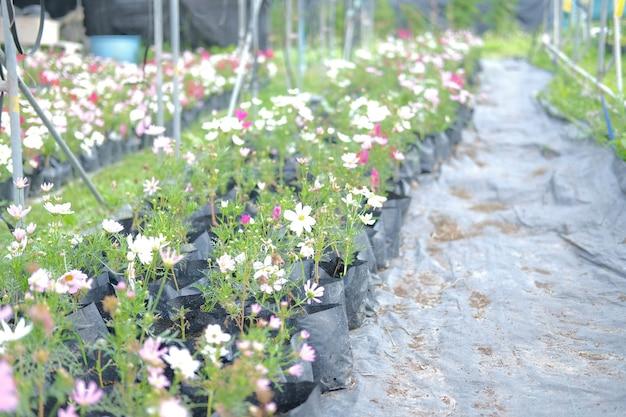 Kosmosblume im wachsen in der pflanzenfarm. anbau von blumen