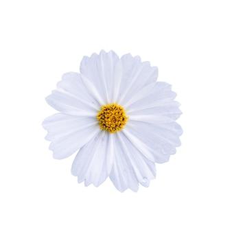 Kosmosblume lokalisiert auf weißem hintergrund mit beschneidungspfad