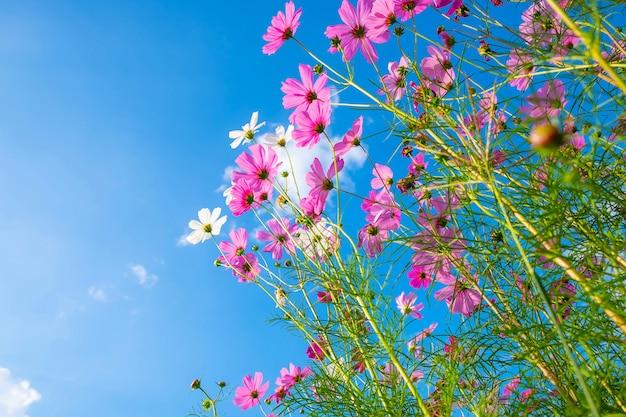 Kosmosblume und blauer himmel