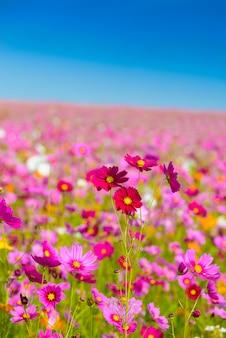 Kosmosblumen blühen