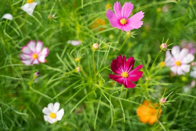 Kosmosblumen im blumengarten, naturblumenkonzept