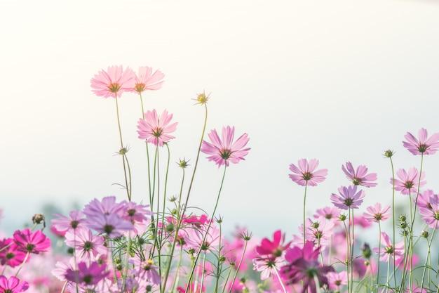 Kosmosblumen in der natur