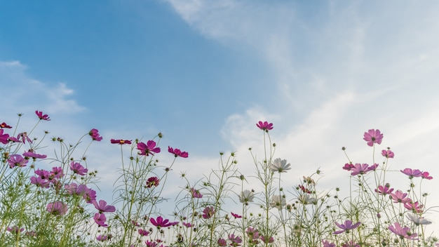 Kosmosblumenfeld mit blauem himmel.
