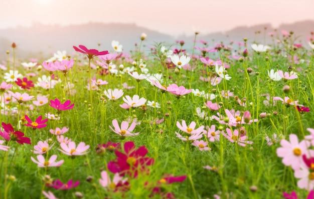 Kosmosblumengarten in der morgenzeit.