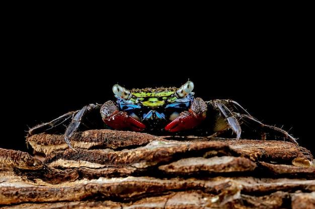 Krabbe auf schwarz