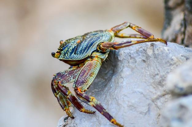 Krabbe sitzt am felsigen ufer des roten meeres. ägypten, sharm el sheikh.