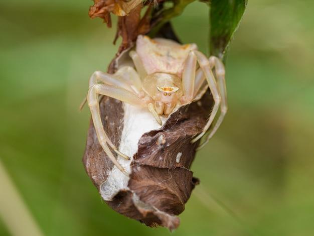 Krabbenspinne (thomisus onustus) mit oothek in pflanzen