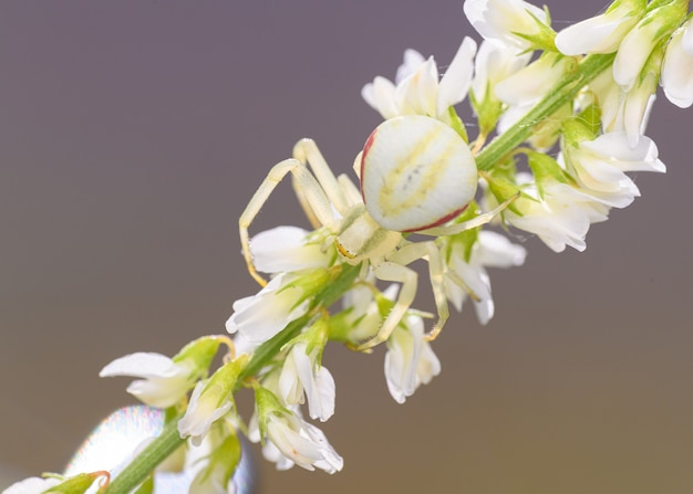 Krabbenspinne (thomisus onustus) versteckt in den blüten Premium Fotos
