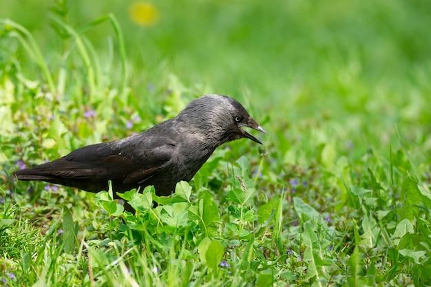 Krähe auf dem gras