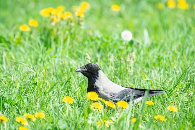 Krähe, die durch das gras geht
