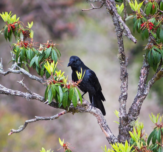 Krähe und rhododendron im langtang-tal in nepal