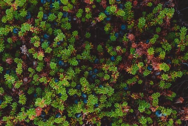 Krähenbeere, empetrum nigrum in seiner natürlichen form in der tundra der kola-halbinsel