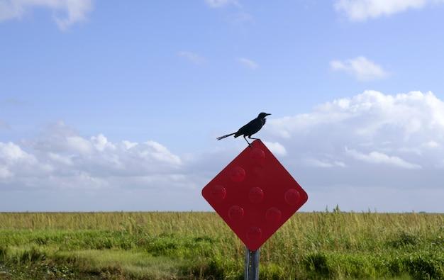 Krähenschwarzer vogel über einem roten signal in den sumpfgebieten