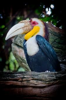 Kränziger nashornvogel, bar-beuteliger kranz