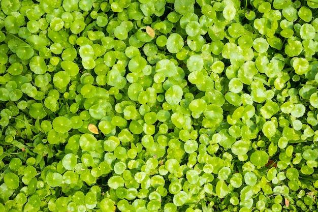 Kräutermedizinblätter von centella asiatica, bekannt als gotu kola