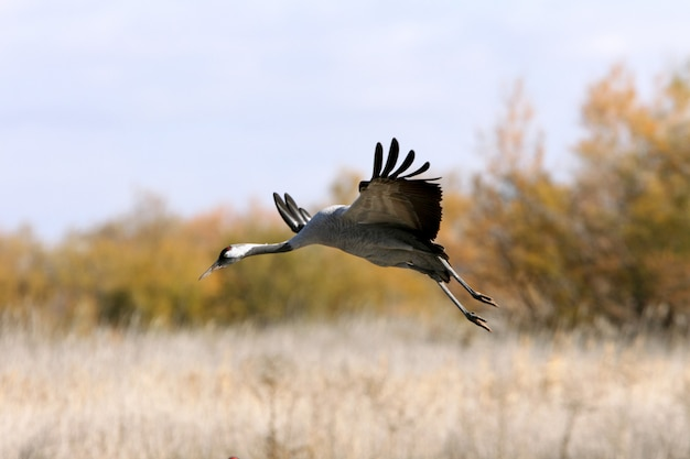 Kranich, der früh am morgen fliegt, vögel, grus grus