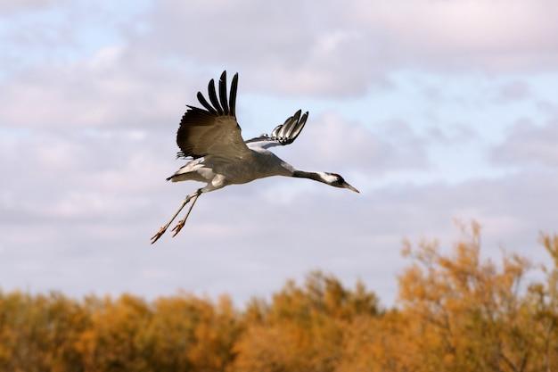 Kranich fliegen, vögel, grus grus