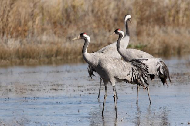 Kranich in einem feuchtgebiet von zentralspanien am frühen morgen, vögel, grus grus