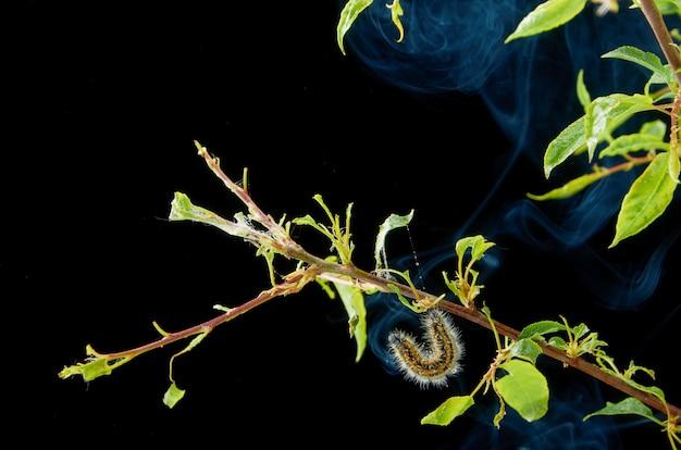 Kranke frühlingsanlage auf einer dunkelheit mit tropfen. pflaumenzweig mit schädlingen. auf einer niederlassung von pflaumengleiskettenfahrzeug- und -spinnmilben.