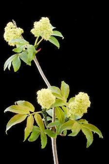 Kranke rote holunderbeere der blühenden pflanze in der dunkelheit. die pflanze ist mit blattläusen bedeckt.