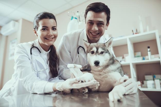 Kranker schlittenhund am tierarzt clinic paw bandaging.