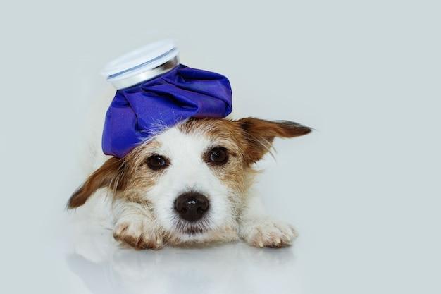 Kranker und trauriger jack russell-hund, der sich mit einem eisbeutel hinlegt